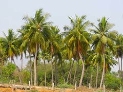 arecales, tropics, palm family, tree, plant, produce, vegetation,