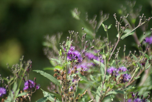 backyardflowers
