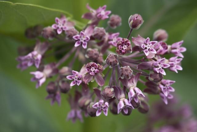 milkweed blooming