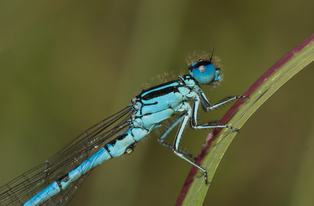 Southern blue damselfly Coenagrion mercuriale close up 3