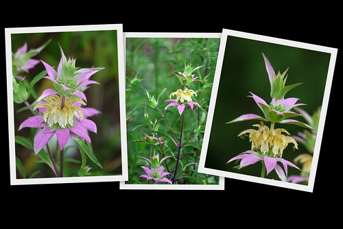 Dotted Horsemint Wildflower (Spotted Bee-Balm)
