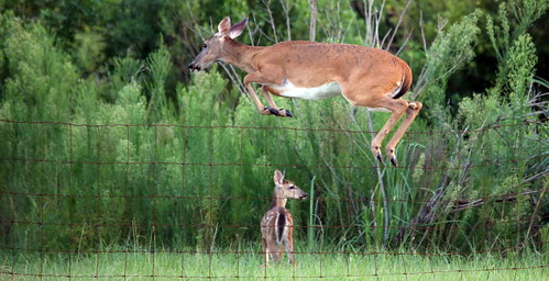 Jumping Deer Sequence Shot 4