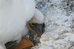 Young Masked Booby approx 7 days on Letterbox