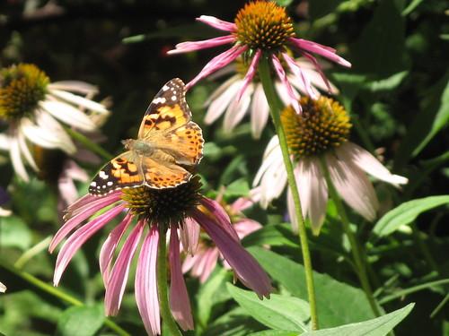 Butterflies 5 by susanvg