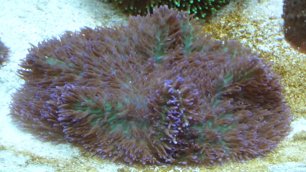 Mush Purple Hairy (7 a 8cm) = R$50,00