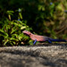 Small photo of Agama
