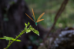 Green Damsel Fly