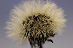 Pollen (dandelion)