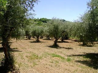 Olive trees around Macedo de Cavaleiros