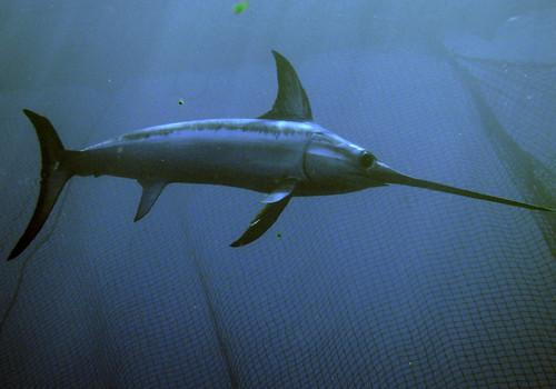 旗魚。攝於地中海。(來源:felix sanchez villarejo)