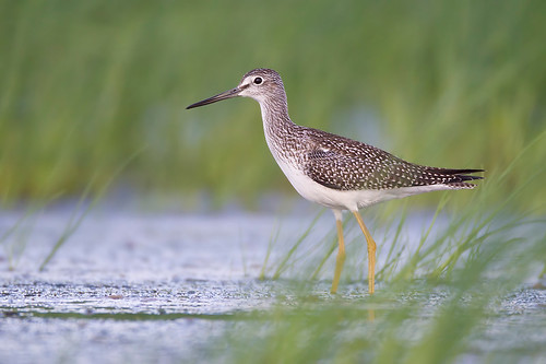 Greater Yellowlegs in Habitat