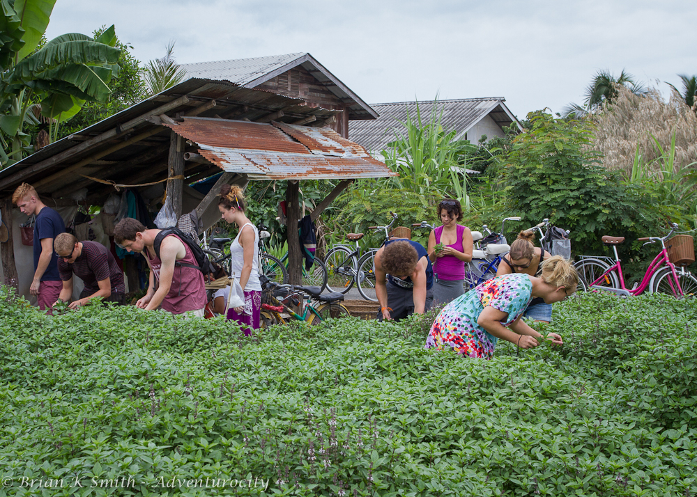 PIcking herbs from the Smart Cook Thai Cookery School organic garden