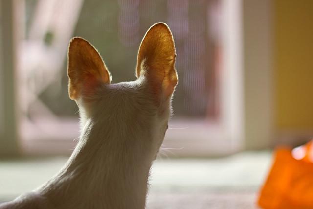 Hermie ears