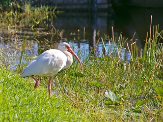 Adult White Ibis January 5, 2012