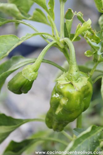 Pimientos verdes fritos (4)