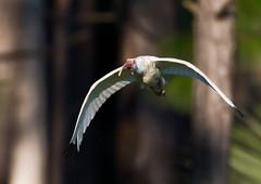 ibis flies_