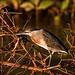 Striated Heron (Dani Free)