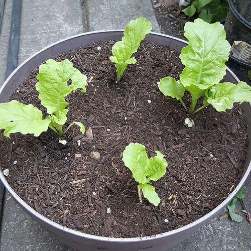 Bok Choy 'Fun Jen' Potted Up