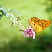 Silver-washed Fritillary - Argynnis paphia