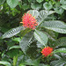 Small photo of Isertia haenkeana