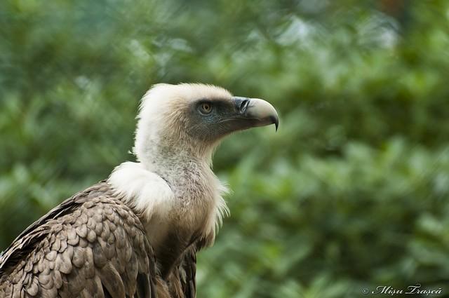 vultur / eagle