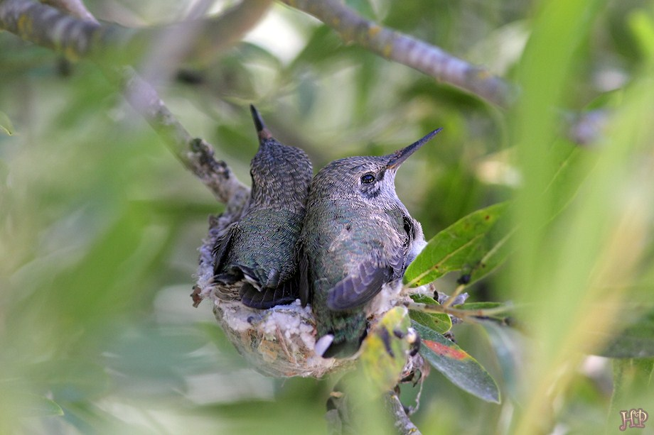 Hybrid Hummingbird nest 070512
