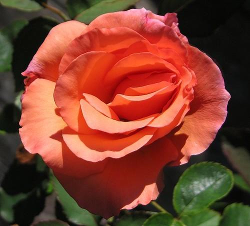 "Griffith Buck Grandiflora Rose ""Enchanted Autumn."" by Leenechan"