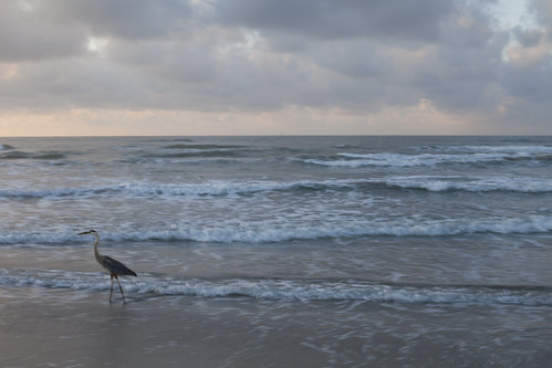Heron walking along the beach, Port Aransas, Mustang Island, Texas at the Gulf of Mexico