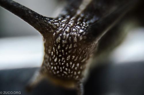 カタツムリ (Snail)