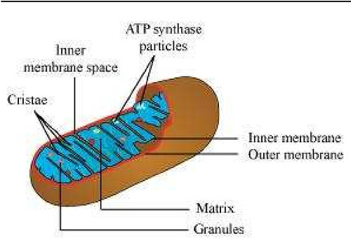 mitochondria contain their own dna circular and have a double membrane The mitochondrial membrane resembles a bacterial membrane mitochondria have a double membrane and the endosymbiotic there are various claims that use the structure of mitochondrial dna as evidence in favor of the endosymbiotic theory the main is that mitochondrial dna is circular.
