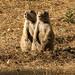 07-21-12: Prairie Dogs