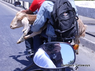 goat-on-a-motorcycle-habal-habal-gensan.jpg