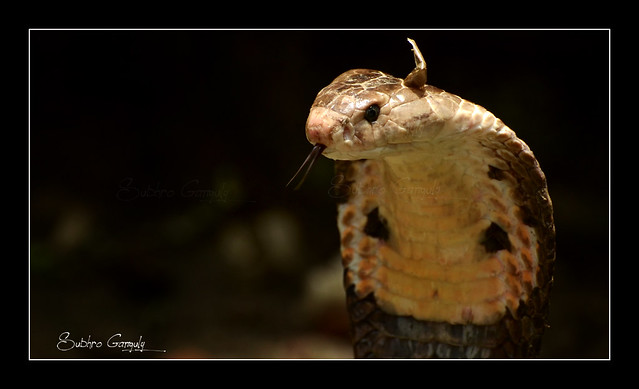 Monocled Cobra / Naja Kaouthia...