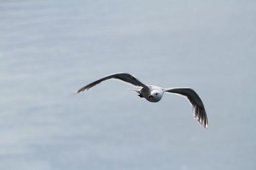 Glacier Bay - Passing Gull