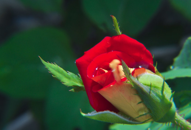 Header of La rosa de Guadalupe