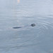 Small photo of Seal in Friday Harbor