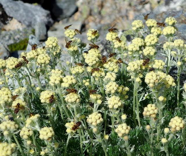 alpine hoverflies