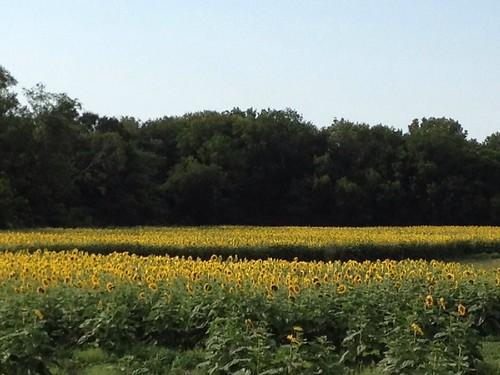 flower sunflower waxahachie