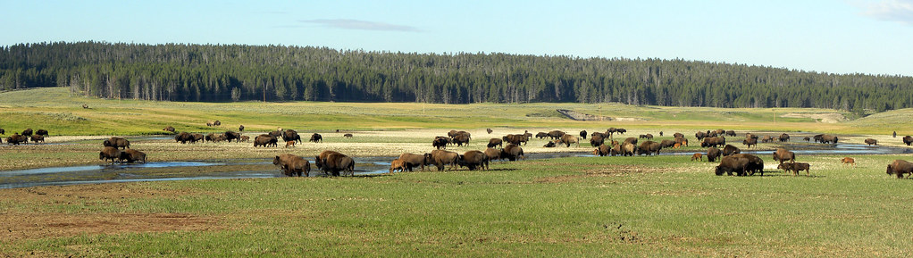 Lamar Valley Bisons