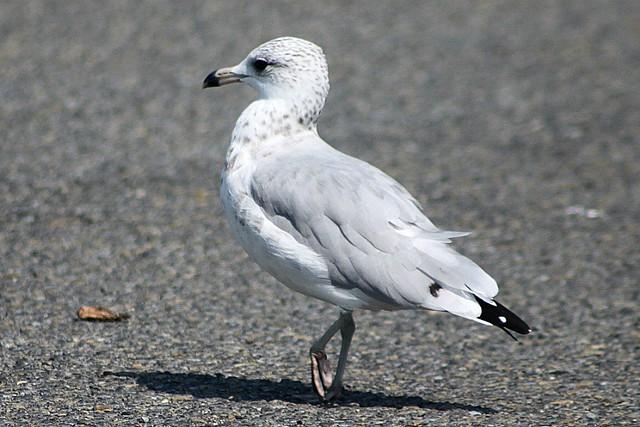 Female seagull - photo#28