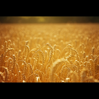 we walk in fields of gold