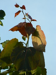Unusually large leaves have appeared at the top of our Poplar Tremula Erecta!