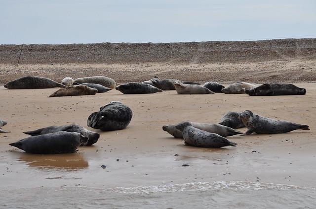 More seals at Blakeney Point