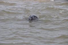 Grey seal having a look at us