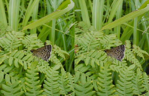 Aeromachus inachus, stereo parallel view