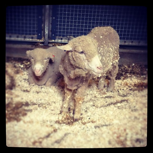 My homies. #merino #wool #yarn #knitting #knit @clemetzoo