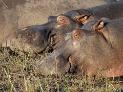 Sleeping Hippos