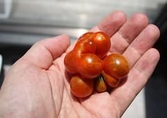 Brainy tomato