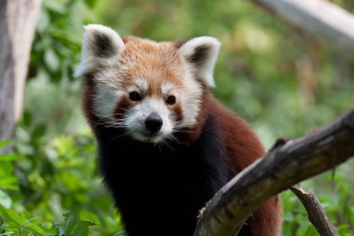 Red Panda - KW32