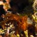 Small photo of Orangutan Crab - Achaeus japonicus